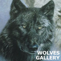 wolf gallery